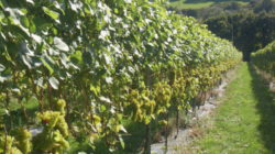 Foto: Camel Valley