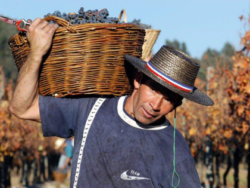 Foto: Vendimia: Weinlese in Chile!
