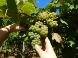 hand harvested wine - low intervention